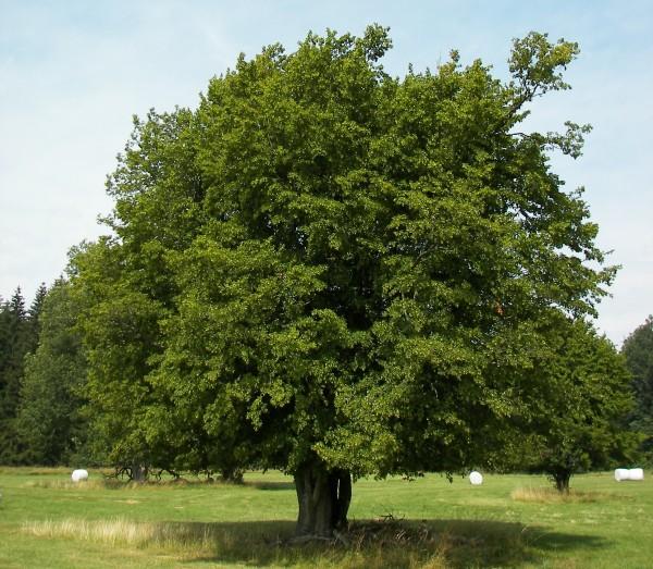 Carpino albero natura e animali for Chioma albero